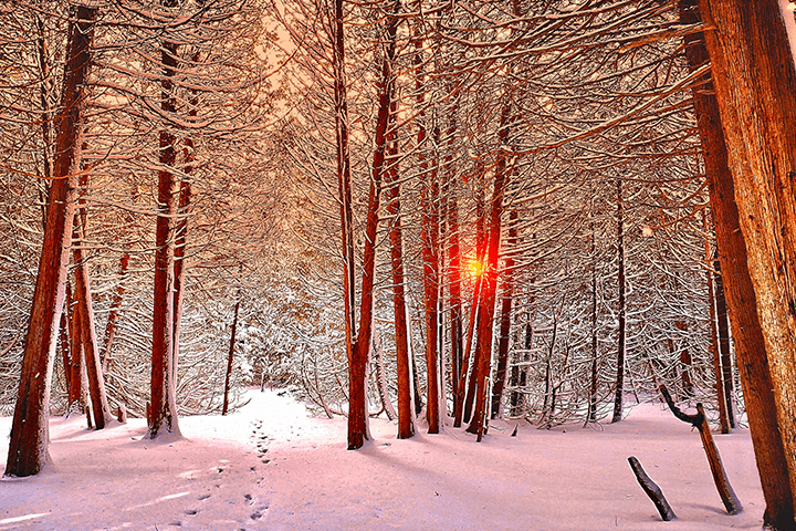 A beautiful wintery scene in the middle of a forest, with foot prints making a path in the snow, and a bright sunlight shining through the trees.